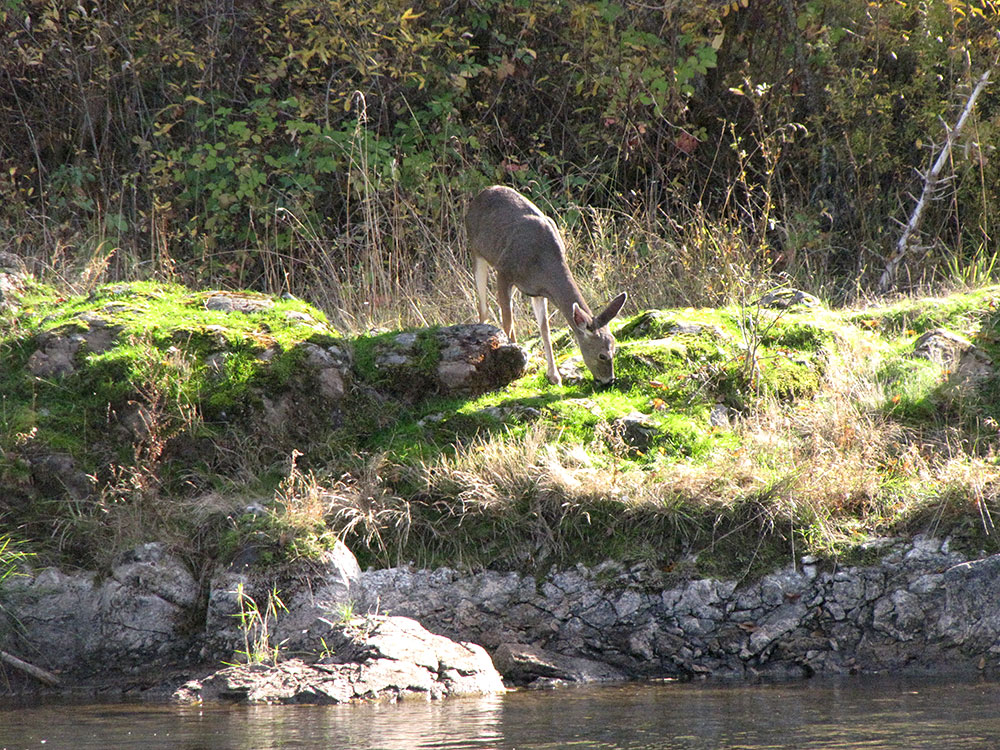 Rogue River wildlife deer